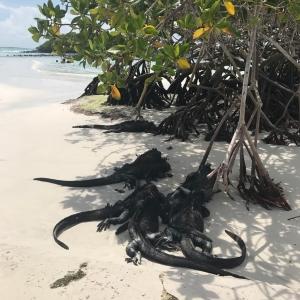 Billede af havleguaner der hviler sig i skyggen på Galápagos