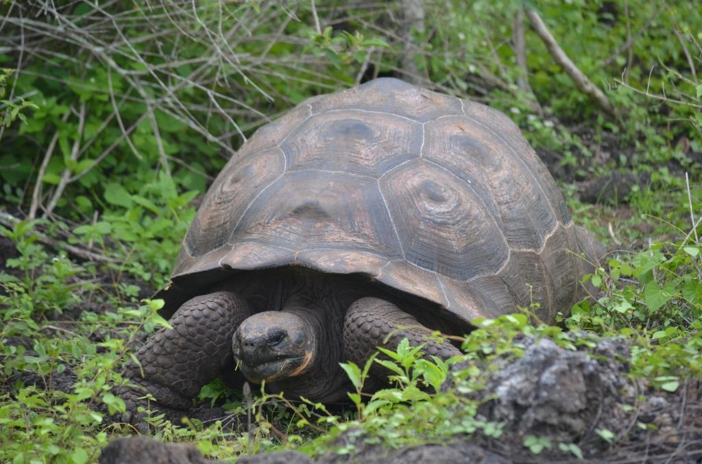 Billede af en endemisk kæmpeskildpadde på Galapagos øerne